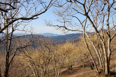 宝登山の蝋梅