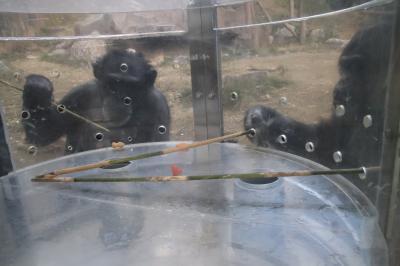 新春レッサーパンダ遠征はバスでめぐる四国3県3園再訪と温泉の旅(9)【高知編】のいち動物公園(後編)フォトジェニックなコツメカワウソや見事な道具使いを見せてくれたチンパンジーからぎりぎり間に合ったアフリカ・オーストラリアゾーンとジャングル・ミュージーアム&こんにちは、カンガルーの赤ちゃん!