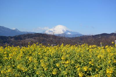 初めての吾妻山から菜の花と富士山を撮りました 2018.01.26