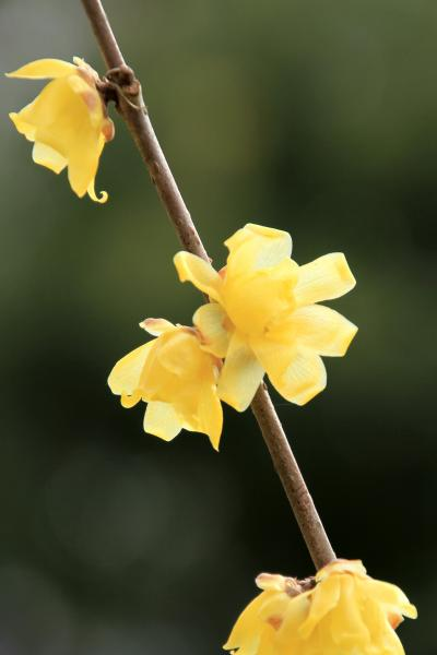 山田池公園へ。 蝋梅が咲いています。梅も咲き始めています。水抜きされた山田池。