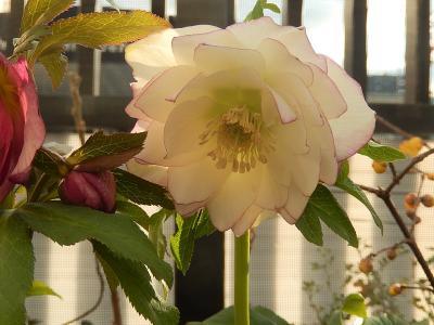 西武百貨店9階の「食と緑の空中庭園」を訪問する・・誠香園で新春の花を見る