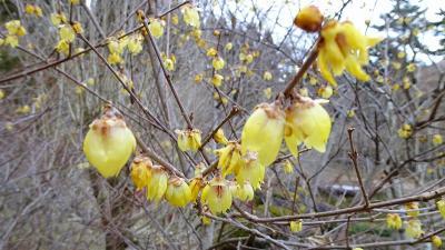 関西花の寺十二番霊場 久安寺へ蝋梅を見に行きました 上巻。