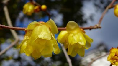 関西花の寺十二番霊場 久安寺へ蝋梅を見に行きました 下巻。