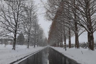 旅するイルカ♪ メタセコイヤ並木と美山かやぶきの里雪灯廊へ