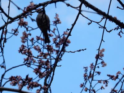 寒桜とチューリップが華やぐ上野公園