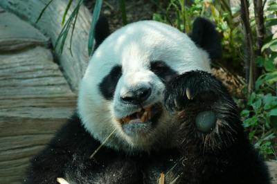 チェンマイ(2) パンダ動物園、温泉ツーリング、キックボクシング! ナイトバザール