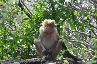 スリランカ 見つけた!1人旅(4)バスで縦断 サルも瞑想!ダンブッラからキャンディへ