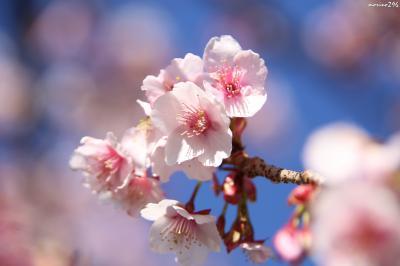 立春♪梅と桜を楽しみに熱海まで