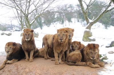 2度目の山口福岡レッサーパンダ遠征も寒波到来にやきもき(3)秋吉台サファリランド(後編)写真専用カーで撮った雪景色のサファリゾーンの動物たち&ライオン・ホワイトタイガーエサやり体験やキッズサファリの動物たち