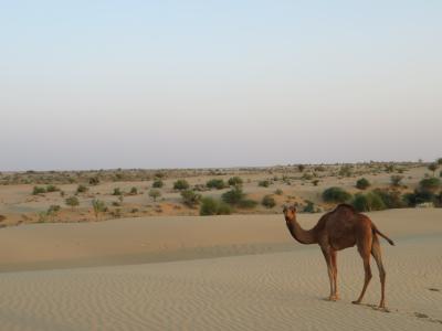 初インドを一ヶ月縦断一人旅してみた 9日目 それいけラクダいざゆけラクダ