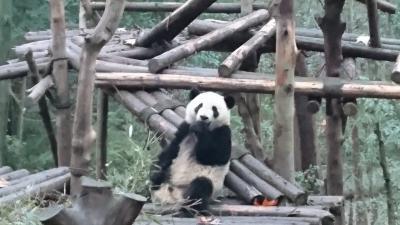 中国四川省にパンダを見に行って来ました!(前編)