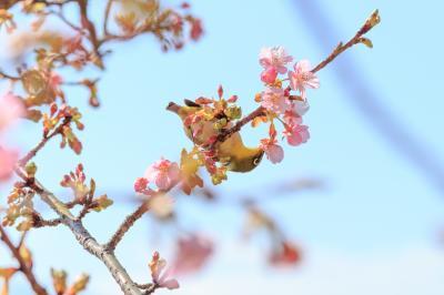 神奈川花見山の様子を確かめに~アグリパーク嵯峨山苑、ちょっとだけまつだ桜まつり~
