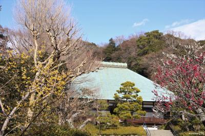 鎌倉散歩:梅の花便り