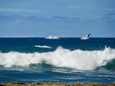 ハワイでホエールウォッチング
