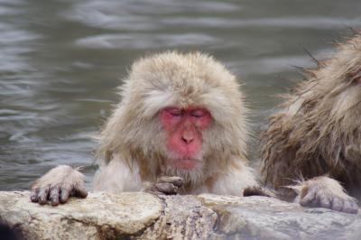 雪に覆われた地獄谷野猿公苑。猿の何倍もの観光客が押し寄せます。