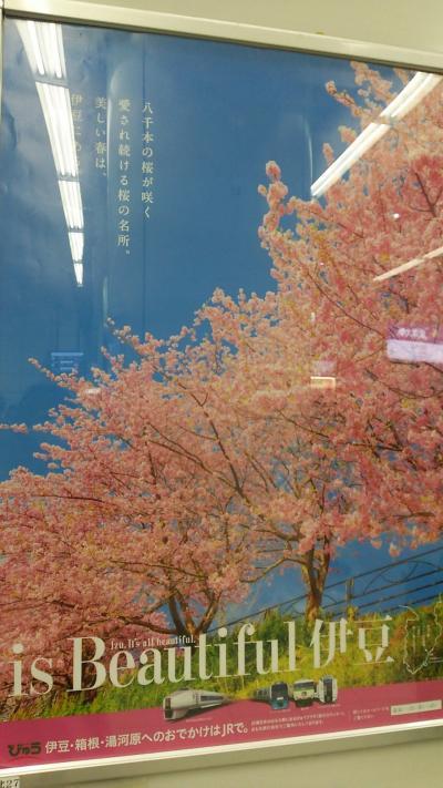 【つぼみでした】河津桜まつり【フライング】