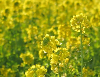 菜の花の渥美半島へ