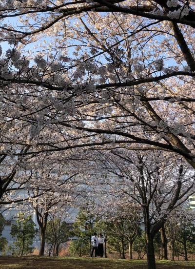 お花見~横浜市都筑区茅ヶ崎中央・都筑中央公園
