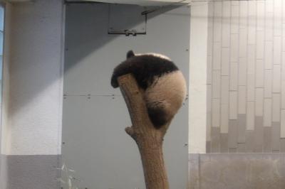 上野動物園のシャンシャンは寝ていました