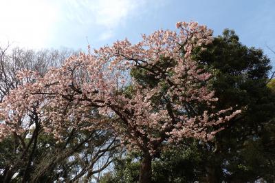 上野公園の寒桜が開花していました-2018年