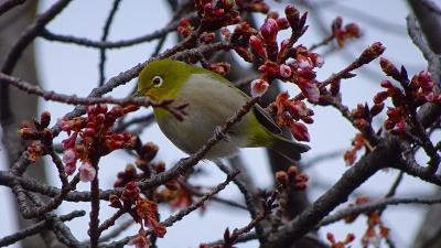 宝塚市山本地区 蝋梅の花を探して散策 上巻。