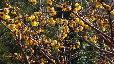 宝塚市山本地区 蝋梅の花を探して散策 中巻。