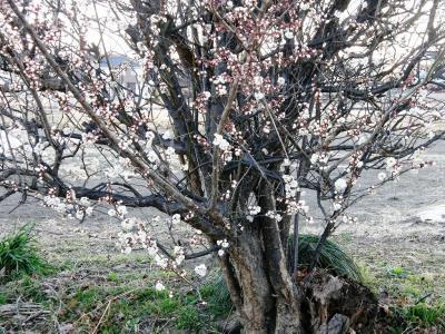 早春の早朝ウォーキングコースにも梅が咲きはじめました