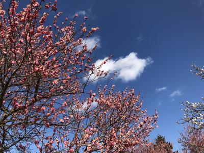 小田原フラワーガーデンへ梅を見に行きました