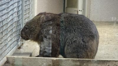 帰りがけに、五月山動物園に立ち寄り、ウォンバットを見てきました。
