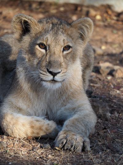 2つの国立公園で希少動物との遭遇インドライオンとベンガルトラに出会う旅