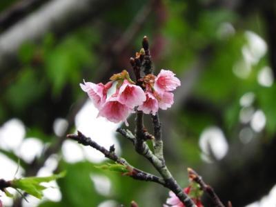 ハワイで桜