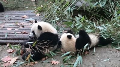 中国四川省にパンダを見に行って来ました!(後編)
