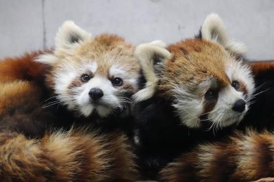 ドライブで2018年初の埼玉こども動物自然公園は4大ミッションにチャレンジ!<レッサーパンダ・コアラ・子ヒツジ・コツメカワウソの赤ちゃん>【コアラの赤ちゃん哀悼】