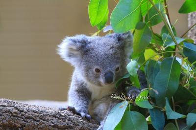 コアラの赤ちゃんの名前が決まりました!! ってことでコアラ祭りです!!