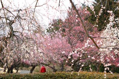 小田原フラワーガーデン、梅が見頃に・・・