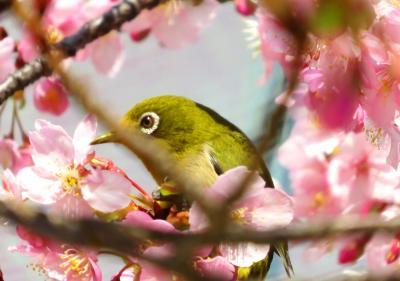 Japan 春が来たぁ!2018 明治神宮から新宿御苑への途中で河津桜を愛でる  ~ミツバチばあやの冒険~