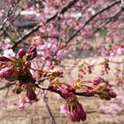 駿河湾フェリーにて五分咲きの河津桜まつりへ