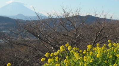 高麗山から湘南平ハイキング、そのあと二宮で菜の花と富士山の饗宴