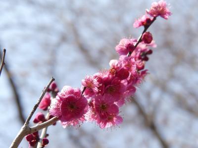 ふかや緑の王国のウメ_2018_開花は3割くらい、見頃はもう少し先です。(埼玉県・深谷市)