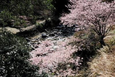 河津桜をおかずに湯ヶ野温泉と下田散歩 シメは駿河湾フェリーで船酔い(>o<)