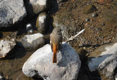 伊東温泉 松川 冬の野鳥たち 2018年2月