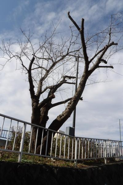 柏尾川の桜並木
