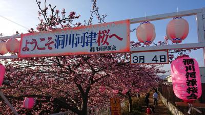 南足柄 洞川河津桜 2018.3.4