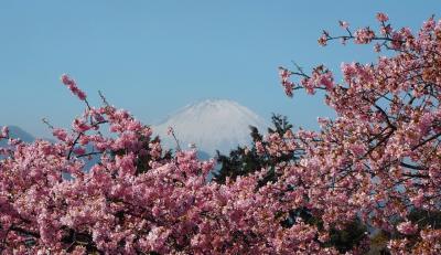 関東の富士見百景 まつだ桜まつり 3月11日まで
