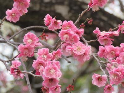 久しぶりに早春の花を求めて東御苑を訪問する③本丸休憩所~汐見坂~梅林坂~二の丸庭園~大手門