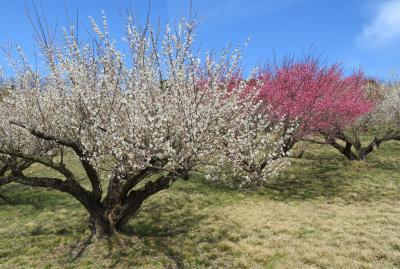 2018春、静岡西部の梅の名所巡り(4/10):3月2日(4):豊岡梅園(1):四万坪の梅園、梅酒用の生産梅林、南高、古城、改良内田
