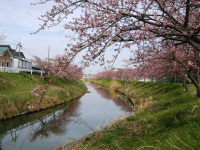 今年も河津桜が満開に・・・