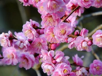 梅は咲いた~か♪二条城に行ってみるか!2018年