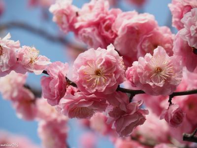 梅の香りに包まれる池上梅園