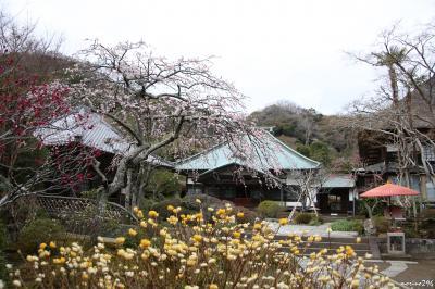 鎌倉花散歩(後半):海蔵寺、寿福寺、大巧寺、本覚寺、妙本寺